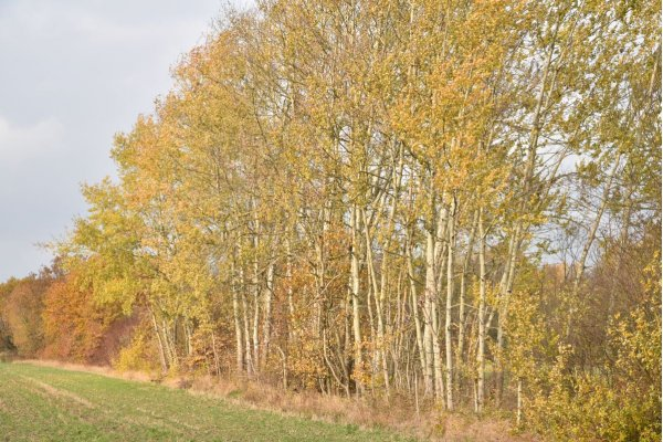 Trembling poplars east of Werchow