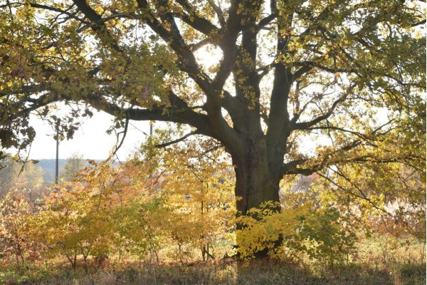 English_Oak by Werchow
